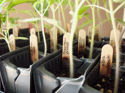 tomato seedlings ready for transplanting