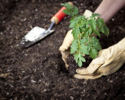 Planting tomato transplant in garden