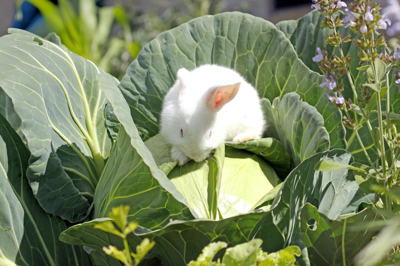 Baby rabbit in garden eating cabbage