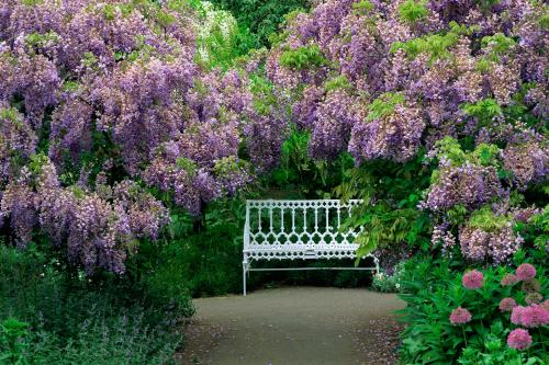 Wisteria plants and white bench
