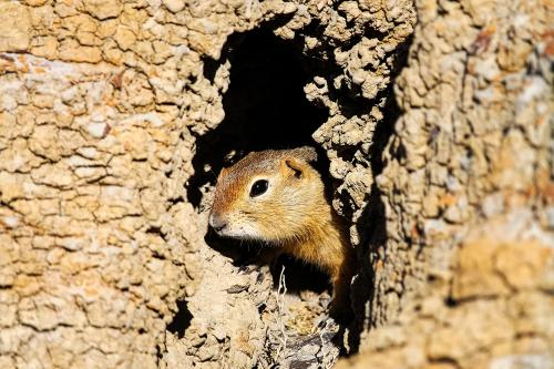 Ground squirrel looks out from it's hole
