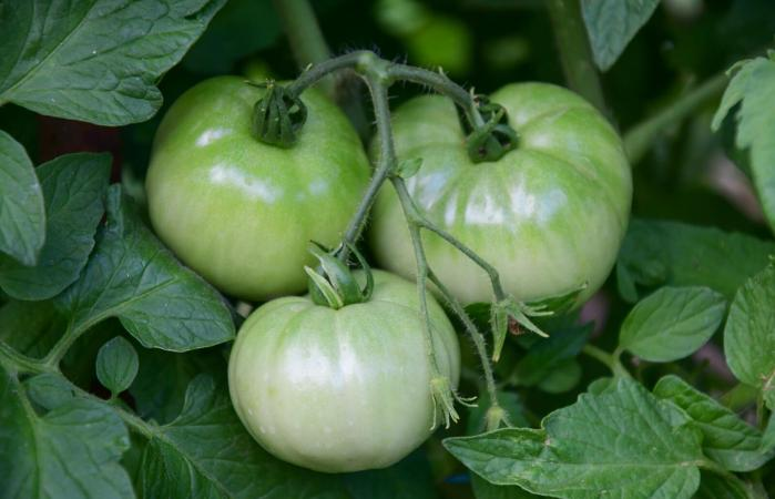 green tomatoes hang from vine