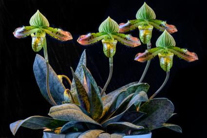 Paphiopedilum Venustum species slipper orchid