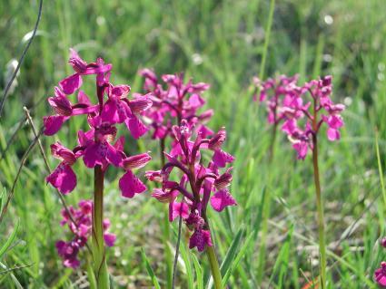 Terrestrial orchids in a field