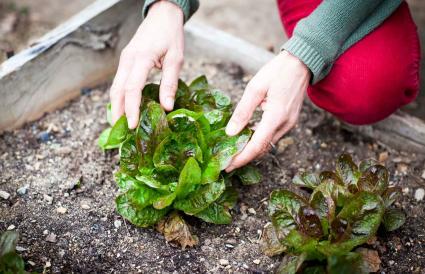 gardener tending lettuce
