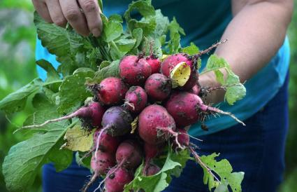 Bouquet of Radishes