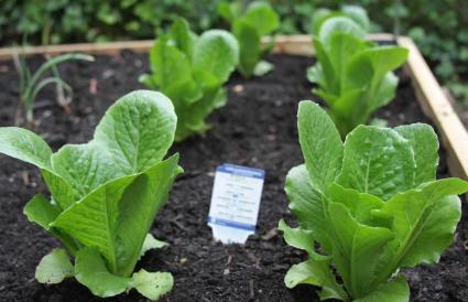 Spinach Plants Growing Vegetable Garden