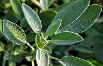 sage growing in garden