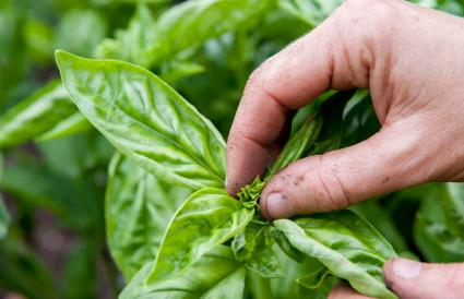 pinching top of basil plant