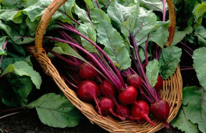 Basket of Beets Grown in Garden