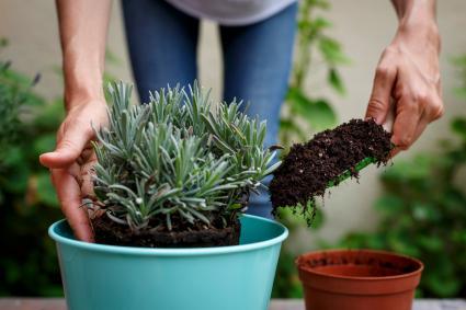 Putting soil around plant.