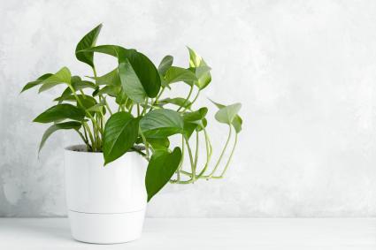 Pothos plant in a vase