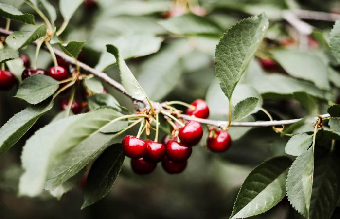 red cherry berry on a tree branch