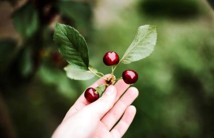 Woman harvesting cherries in garden