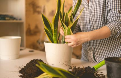 planting the snake plant