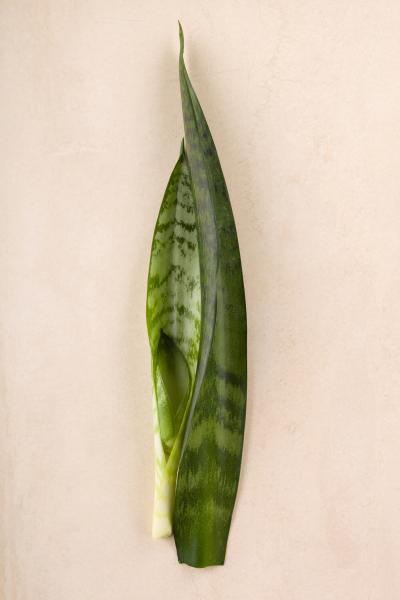 Sansevieria trifasciata leaves