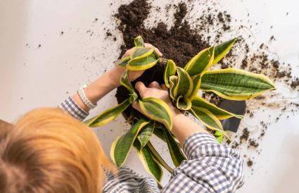planting the snake plant in the pot