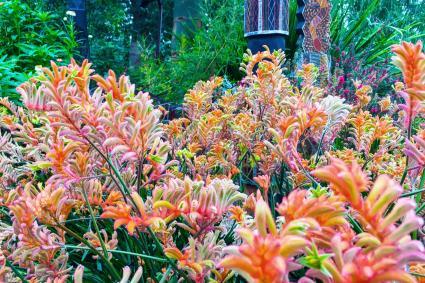 Australia plant in garden bed