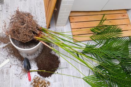 Areca palm repotting