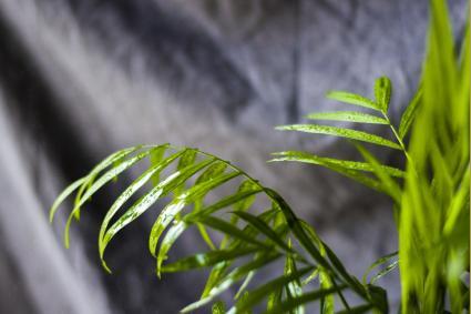 Indoor Majestic palm tree