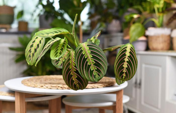 Prayer plant on table