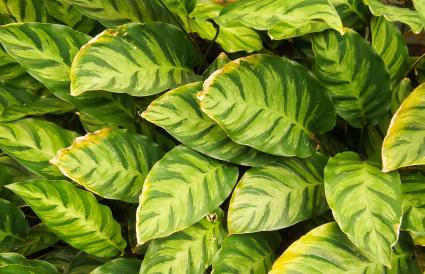 Green Prayer Plant