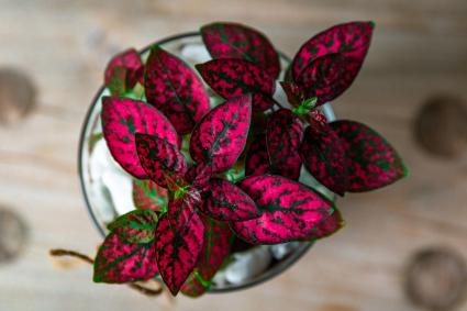 Red Polka Dot Plant on Wooden Table