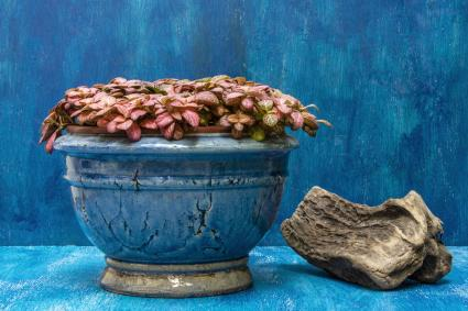 A blue vase with hypoestes with blue background