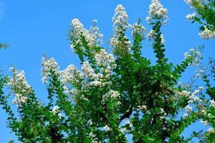 Japanese Crape Myrtle Flower