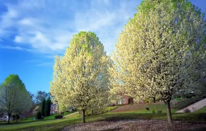White flowers covering two Bradford Pear trees in the Springtime