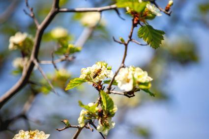 Blossoming Washington hawthorn tree