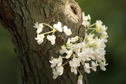 White Redbud Tree Trunk Covered with Flowers