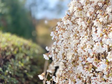 Cascading weeping cherry tree in bloom in early spring