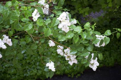 Flowers and leaves of Syringa vulgaris