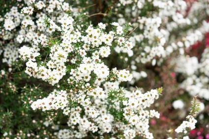 A flowering Manuka Leptospermum scoparium tree