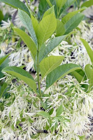 White fringetree (Chionanthus virginicus)