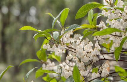 White Blueberry Ash flowers