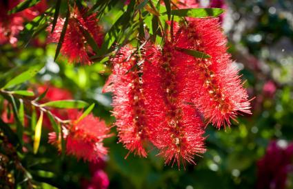 Bottlebrush flowers (Callistemon)