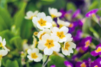 Spring, primrose bloom