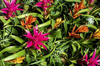 Vibrant red and green Bromeliad flowers