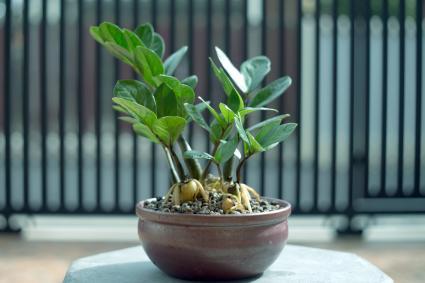 Zz Plant Or Zamioculcas Zamifolia