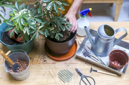 Man repotting green plant (Schefflera Umbrella Dwarf Plant)