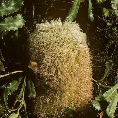 Mountain Banksia