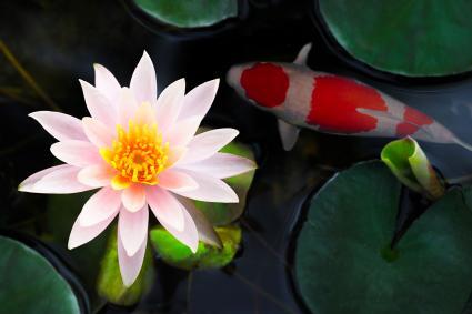 Beautiful pink waterlily or lotus flower in koi pond