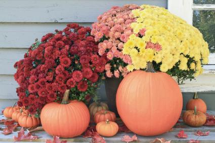 Thanksgiving pumpkins and red, yellow and pink fall mums
