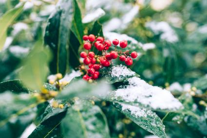 Green leaves and red berries under the first snow
