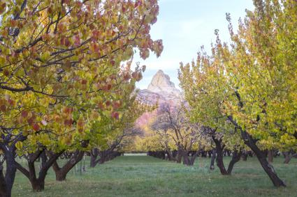 Apricot tree with yellow fall foliage