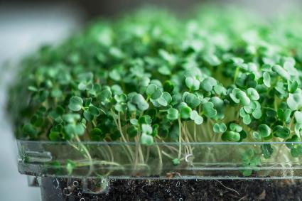 Micro Greens on wooden surface