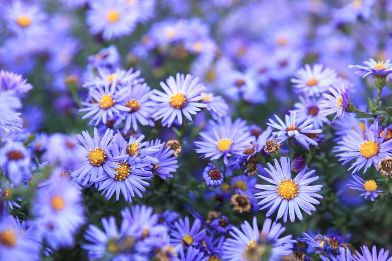September Birth Flowers: Vibrant Aster and Morning Glory ...