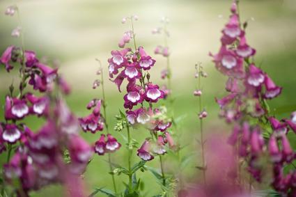 The vibrant pink summer flowers of Penstemon